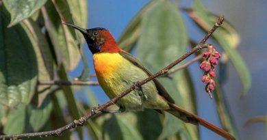 นกกินปลีแดงหัวไพลิน Fire-tailed Sunbird