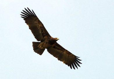 นกอินทรีปีกลายเล็ก Indian Spotted Eagle